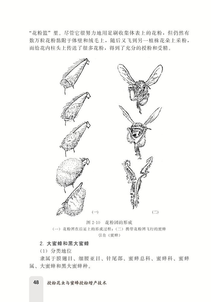 **章绪论1 一、现代农业增产不可缺少的生物措施2 二、国内外推行蜜蜂授粉技术的状况3 三、人类对蜜蜂授粉问题的研究6 四、蜜蜂授粉在构建农业生态系统中的特殊作用12 五、我国蜂业、授粉业是低碳经济产业18 第二章授粉昆虫23 一、授粉昆虫的概念24 二、授粉昆虫的生物学特性24 三、授粉昆虫分布的地域性31 四、授粉昆虫的种类和结构33 五、我国常见的重要授粉昆虫简述41 六、辅助授粉昆虫82 第三章蜜蜂授粉优势和效果86 一、蜜蜂在授粉昆虫中的地位87 二、蜜蜂是*理想的授粉者89 三、消除对蜜蜂授粉